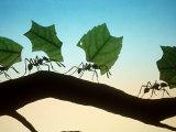 Leaf-Cutting Ants Reproduction photographique par David M. Dennis