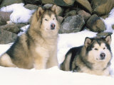 Alaskan Malamutes in the Snow Photographic Print by Lynn M. Stone