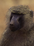 Olive Baboon, Papio Anubis Photographic Print by D. Robert Franz
