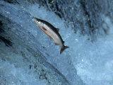 Red Salmon Swimming Upstream, Katmai, AK Photographie par Kyle Krause
