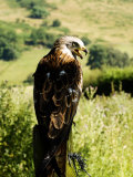 Red Kite, Adult Overlooking Countryside, UK Photographie par Mike Powles