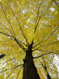 Tree with Autumn Leaves Photographic Print by Dennis Macdonald