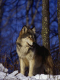 Gray Wolf, Canis Lupus Photographic Print by D. Robert Franz