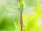Common Hawker, Newly Emerged Male on Plant, UK Photographic Print by Mike Powles