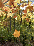 Single Leaf Falls from Tree, Autumn Foliage Photographic Print by Dennis Macdonald