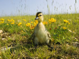Mallard, Duckling in Wildflower Meadow, UK Photographic Print by Mike Powles