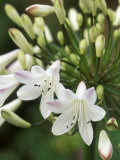 Agapanthus (Polar Ice), Close-up of White & Pale Pink Flower Head Fotoprint van Mark Bolton