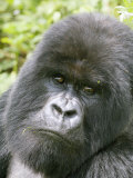 Mountain Gorilla, Male Silverback Portrait, Rwanda Photographic Print by Mike Powles