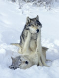 Gray Wolves, Show of Dominance Among Pack, Montana Fotografisk trykk
