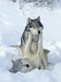 Gray Wolves, Show of Dominance Among Pack, Montana Fotografie-Druck von Daniel J. Cox