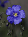 Blue Flax, Belmar Park, Colorado Photographic Print by D. Robert Franz