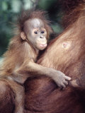 Sumatran Baby Orangutan, Pongo Pygmaeus, Indonesia Photographic Print by D. Robert Franz