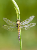 Black Tailed Skimmer Dragonfly, Female Drying, UK Photographic Print by Mike Powles