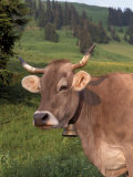 Brown Swiss Cow, Switzerland Photographic Print by Lynn M. Stone