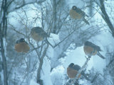 Robins on Branches in Winter, Salida, Colorado Photographic Print by Frank Staub