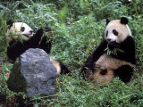 Giant Panda Bears Playing, Sichuan, China Photographic Print by Lynn M. Stone