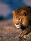 African Lion Photographic Print by Stuart Westmorland