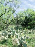 Prickly Pear Cactus, Texas Photographic Print by David Davis