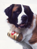 St. Bernard with Rescue Barrel Photographic Print by Robert Cattan