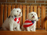 Maltese Dogs Wearing the American Flag Photographic Print by Karen M. Romanko