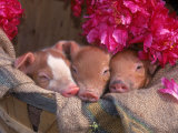 Piglets in Barrel with Flower Photographic Print by Lynn M. Stone