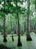 Cypress Swamp, Ms Photographic Print by Dennis Macdonald