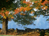 Tree Next to Stone Wall, Autumn, New England Photographic Print by Gary D. Ercole