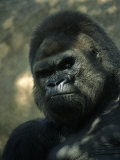 Gorilla in San Diego Wild Animal Park, CA Photographic Print by John Luke
