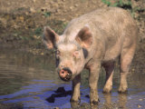 Pig Standing in Water Photographic Print by Lynn M. Stone
