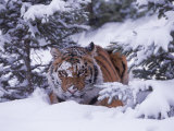 Siberian Tiger, Panthera Tigris Altaica Photographie par Lynn M. Stone