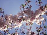 Kirschblüte Fotografie-Druck von Rudi Von Briel