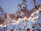 Cherry Blossom Photographic Print by Rudi Von Briel