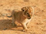 Lion Cub in Africa Fotografie-Druck von John Dominis