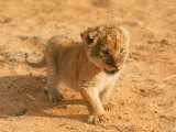 Lion Cub in Africa Photographic Print by John Dominis