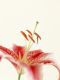 Robrum Lily Photographic Print by Dave Porter
