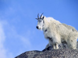 Mountain Goat, Mt. Evans, CO Photographic Print by Karen Schulman