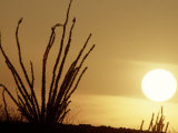 Desert Sunset with Ocotillo, CA Photographic Print by D. Robert Franz
