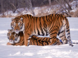 Siberian Tigers Photographic Print by Lynn M. Stone