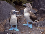 Blue Footed Boobies, Ecuador Reproduction photographique