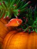 Clown Fish & Anemone, Truk Lagoon Photographic Print by Mike Mesgleski
