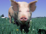 Close-up of Pig Photographic Print by Lynn M. Stone