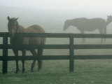 Horses in Fog, Chesapeake City, MD Photographic Print by Henry Horenstein
