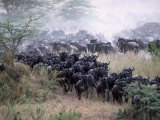Wildebeests Migrating, Tanzania Photographic Print by D. Robert Franz