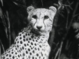 Cheetah Photographic Print by Henry Horenstein