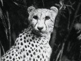 Cheetah Photographic Print by Henry Horenstein