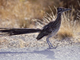 Roadrunner,Geococcyx Californianus, Joshua Tree National Park Photographie par Hal Gage