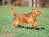Golden Retriever Running Photographic Print by David Davis
