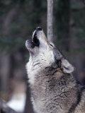 Grey Wolf Howling, Canis Lupus Fotografisk trykk av D. Robert Franz