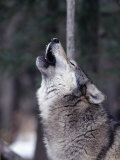 Grey Wolf Howling, Canis Lupus Photographic Print by D. Robert Franz