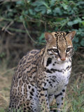 Ocelot (Felis Pardalis) Photographic Print by Lynn M. Stone